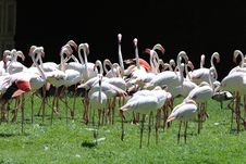 Free Flock Of White Flamingoes Royalty Free Stock Photography - 109913637