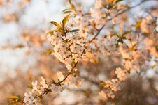 Free Selective Focus Photography Of White Cherry Blossom Flowers Royalty Free Stock Images - 109913649