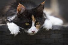Free Focus Photo Of Calico Cat Stock Photography - 109913672