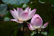 Free Photography Of Lotus Flowers In Bloom Stock Photography - 109913722
