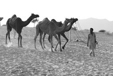 Free Grayscale Photography Of Man Luring Camels Royalty Free Stock Images - 109913949