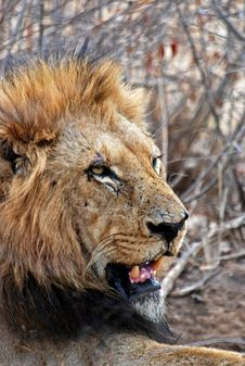 Free Lion Lying On Ground Stock Image - 109914041