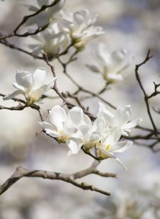 Free Selective Focus Photography Of White Magnolia Flowers Stock Images - 109914264