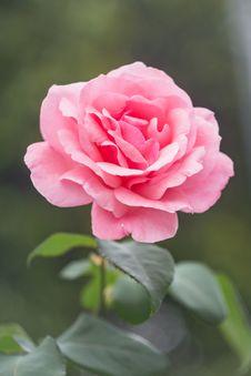 Free Flor, Flower, Garden Stock Image - 109914271