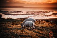 Free Two Animals On Field During Sunset Royalty Free Stock Image - 109914306