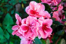Free Close-up Photography Of Pink Flowers Royalty Free Stock Photography - 109914307