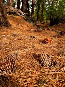 Free Photography Of Pine Cones On Ground Stock Photo - 109914380