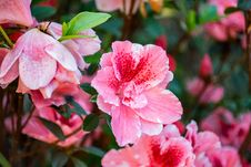 Free Close-Up Photography Of Hibiscus Flowers Stock Images - 109914404