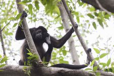 Free Black Primate Holding On Tree Branches Royalty Free Stock Photo - 109914405