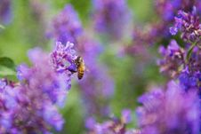 Free Selective Focus Photography Of Honey Bee On Lavender Stock Images - 109914494