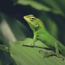 Free Macro Photography Of Green Crested Lizard Stock Photography - 109914512