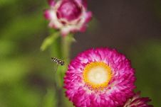 Free Close-up Photo Of Insect Flying Towards The Flower Royalty Free Stock Images - 109914539