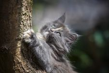 Free Gray Persian Cat Stock Photo - 109914540