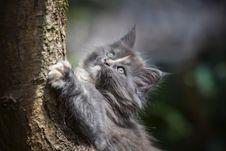 Free Gray Persian Cat Stock Photo - 109914540