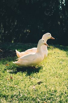 Free Two White Ducks On Green Grass Field Royalty Free Stock Photos - 109914638