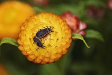 Free Macro Photography Of Two Black Beetles On Orange Flower Royalty Free Stock Photo - 109914675