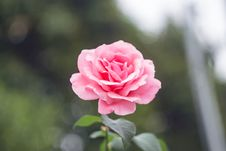 Free Close-Up Photography Of Pink Rose Royalty Free Stock Photography - 109914727