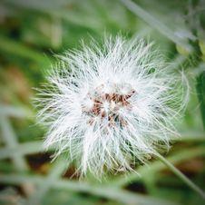 Free White Dandelion Plant Stock Image - 109914971