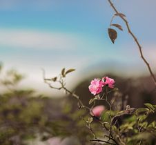 Free Pink Rose Flower In Selective Focus Photography Stock Image - 109915221
