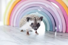 Free Close-up Photo Of A Hedgehog Beside Rainbow Curved Frame Stock Photo - 109915400