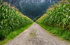 Free Pathway In Middle Of Corn Field Stock Images - 109915404