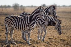 Free Three Zebras Standing On Green Grass Field Royalty Free Stock Photo - 109915445