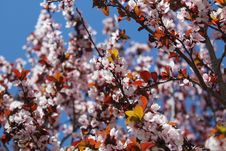 Free Close-up Photo Of Cherry Blossoms Stock Photography - 109915462