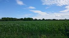 Free Green Corn Field Stock Photography - 109915502