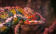 Free Red, White And Green Chameleon Stock Photography - 109915512