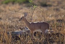 Free Close-up Photo Of Deer Royalty Free Stock Image - 109915526