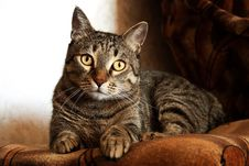 Free Adult Brown Tabby Cat Royalty Free Stock Photos - 109915538