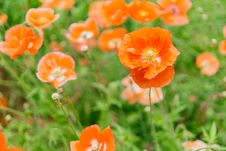 Free Close-up Photography Of Orange Petaled Flowers Royalty Free Stock Images - 109915559