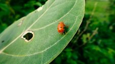 Free Lady Bug Royalty Free Stock Image - 109915616