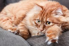 Free Orange Cat Lying On Grey Couch Stock Photos - 109915703