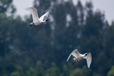 Free Two White Ibis Flying Stock Photography - 109915742