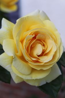 Free Yellow Rose Flower In Close-up Photography Royalty Free Stock Photos - 109915768