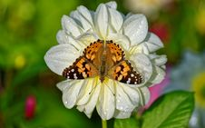 Free Brown Butterfly On White Petaled Flower Stock Image - 109915771