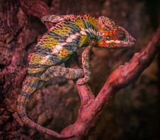 Free Veiled Chameleon Royalty Free Stock Image - 109915796