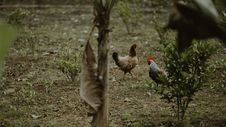 Free Two Brown Hen And White Rooster Standing Near Green Plants Royalty Free Stock Photos - 109915798