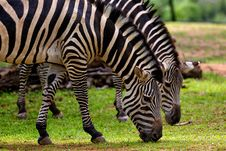 Free Photography Of Two Zebra Eating Grass Stock Photo - 109915820