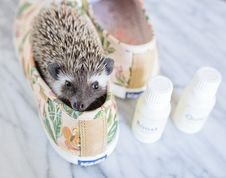 Free Brown Hedgehog In Brown-and-green Keds Low-top Sneakers With Bottles Royalty Free Stock Images - 109915849