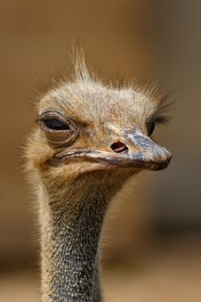Free Brown Ostrich Royalty Free Stock Photo - 109915885