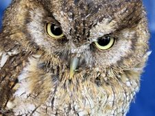 Free Closeup Photo Of Owl Stock Image - 109915921