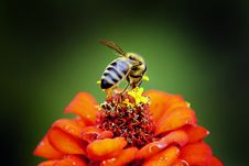 Free Honeybee Perched On Red Petaled Flower In Closeup Photography Stock Photo - 109915930