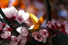 Free Close-up Photo Of Cherry Blossoms Stock Photos - 109915963