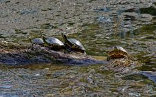 Free Turtles On Brown Rock Near Body Of Water Royalty Free Stock Photography - 109915967