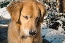 Free Adult Golden Retriever Close-up Photo Royalty Free Stock Photos - 109916038