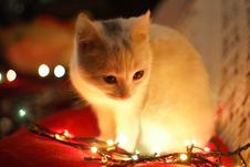 Free Close-Up Photography Of White Cat Besides Christmas Lights Stock Photo - 109916100