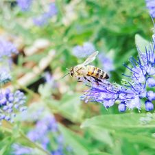 Free Macro Photography Of Honeybee Perched On Blue Petaled Flower Royalty Free Stock Photography - 109916177