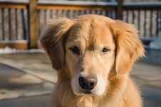 Free Adult Golden Retriever Close-up Photo Royalty Free Stock Photo - 109916205